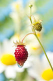 Wild strawberry Stock Photo