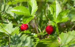 Wild strawberry. With berries in forest Royalty Free Stock Photo