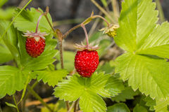 Wild strawberry. Plant of wild strawberry with a berry Stock Photography
