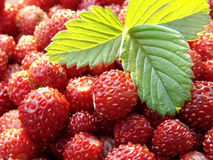 Wild strawberry. Fresh wild strawberry with green leaf close-up Stock Photography