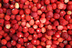 Wild strawberry. Lots of red wild strawberries Royalty Free Stock Photos