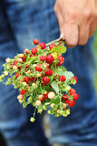 Wild strawberry. Man with a bouquet of wild strawberries Royalty Free Stock Image
