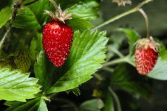 Wild strawberry. Fruits of wild strawberry photographed close up Vector Illustration