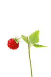 Wild strawberry. Fruit and plant isolated on white Royalty Free Stock Photography