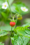 Wild strawberry. In the forest closeup Stock Photo