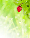 Wild strawberry background. Green nature background with a wild strawberry in the corner royalty free stock image