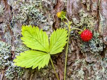 Wild strawberry on background of pine trunk or bark. View on wild red strawberry isolated on pine trunk in hot summer day royalty free stock image