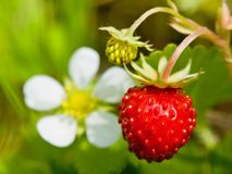 Wild strawberry with berries and florets Royalty Free Stock Photo