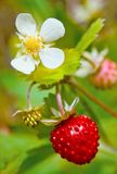 Wild strawberry with berries and florets Stock Photography