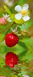 Wild strawberry with berries and florets Stock Photo