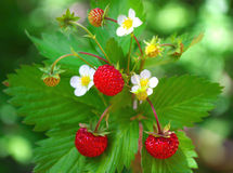 Wild strawberry with berries and flowers royalty free stock image