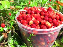 Wild strawberry berries fruit dessert in basket Royalty Free Stock Photography
