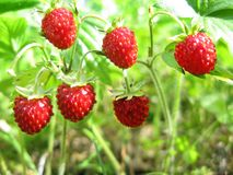 Wild strawberry berries fruit dessert Royalty Free Stock Images