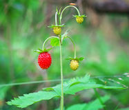 Wild strawberry berries growing in natural environment Royalty Free Stock Photo