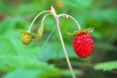 Wild strawberry berries growing in natural environment Stock Photo