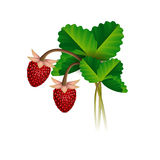 Wild strawberry berries and leafs Royalty Free Stock Photos