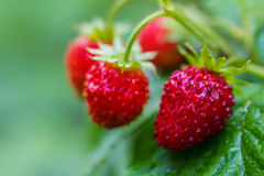 Wild strawberry with berries Royalty Free Stock Photo