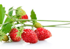 wild strawberry berry with green leaf Royalty Free Stock Image