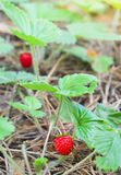 Wild strawberry berry Royalty Free Stock Images