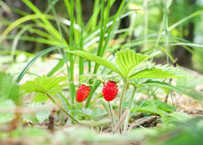 Wild strawberry berry growing in natural environment. Royalty Free Stock Photos