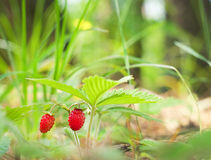 Wild strawberry berry Stock Photo