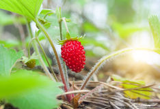 Wild strawberry berry Royalty Free Stock Photos