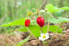 Wild strawberry berry growing in natural environment. Stock Photography