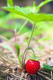 Wild strawberry berry Stock Photography