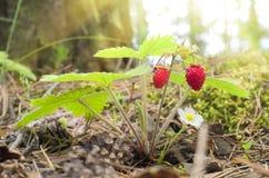 Wild strawberry berry Royalty Free Stock Photo