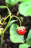 Wild strawberry berry lonely hang on the bush Stock Photo