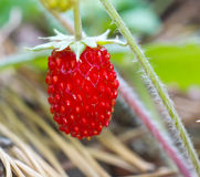 Wild strawberry berry Stock Photos