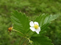 Wild strawberry bloom Royalty Free Stock Photography