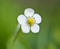 Wild strawberry blossoming Stock Photos