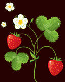 Wild strawberry bush Royalty Free Stock Photography