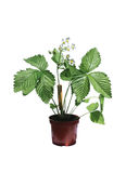 Wild strawberry bush in a flowerpot isolated Stock Image