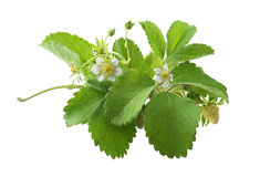 Wild strawberry. Bush of wild strawberry with flowers on the white background royalty free stock photos