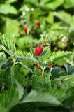 Wild strawberry bush. Stock Photos