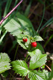 Wild strawberry bush with ripe berries and green leafs close-up Royalty Free Stock Photos