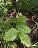 Wild strawberry bush with ripe berries and green leafs close-up Royalty Free Stock Images