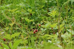 Wild strawberry on a clearing... royalty free stock photos