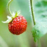 Wild Strawberry Close Up Royalty Free Stock Photos