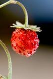 Wild strawberry close-up Stock Photos