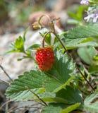 Wild strawberry - close-up Stock Image