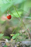 Wild strawberry. Royalty Free Stock Image