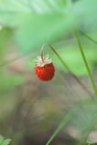 Wild strawberry. Stock Photos