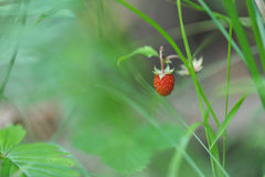 Wild strawberry. Stock Photo