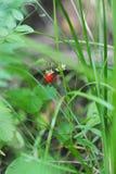 Wild strawberry. Royalty Free Stock Photo
