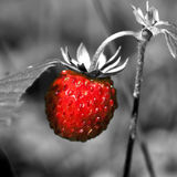 Wild strawberry close up Royalty Free Stock Photography