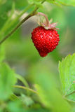Wild strawberry. Closeup Royalty Free Stock Photos