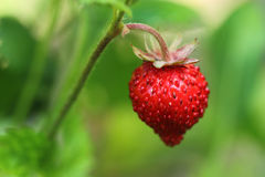 Wild strawberry. Closeup Royalty Free Stock Image